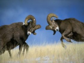 Rams-battle-300x225