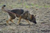 german-shepherd-707046_960_720